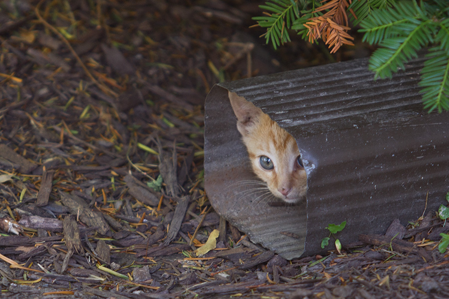 A kitten hides in a downspout just prior to its rescue.