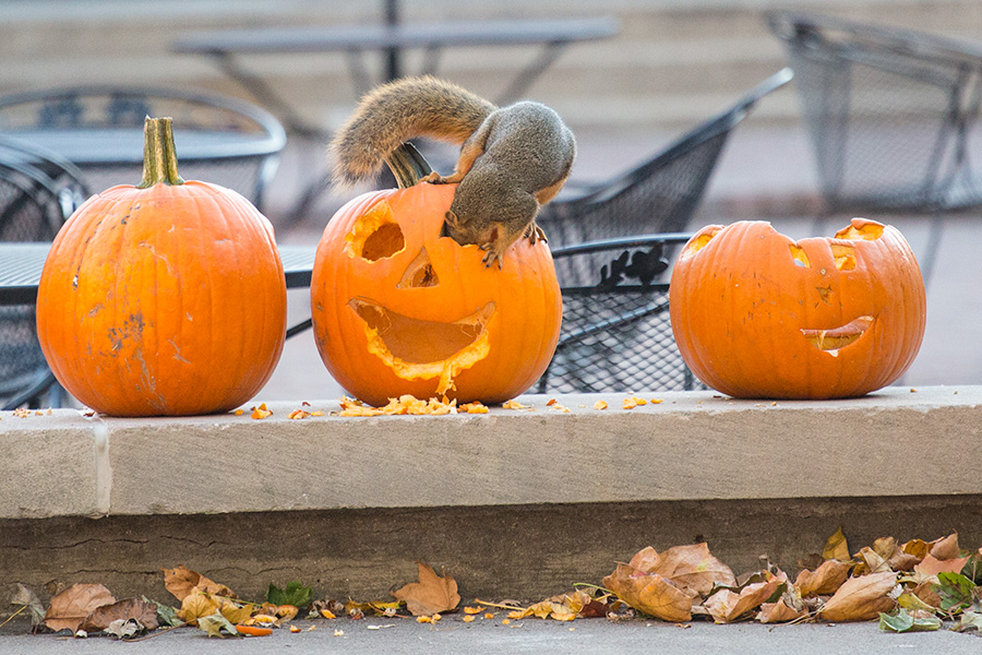 A squirrel feasts on a jack-o-lantern on the Gizmo Patio outside Seymour Union, left over from a student pumpkin carving event the day before.