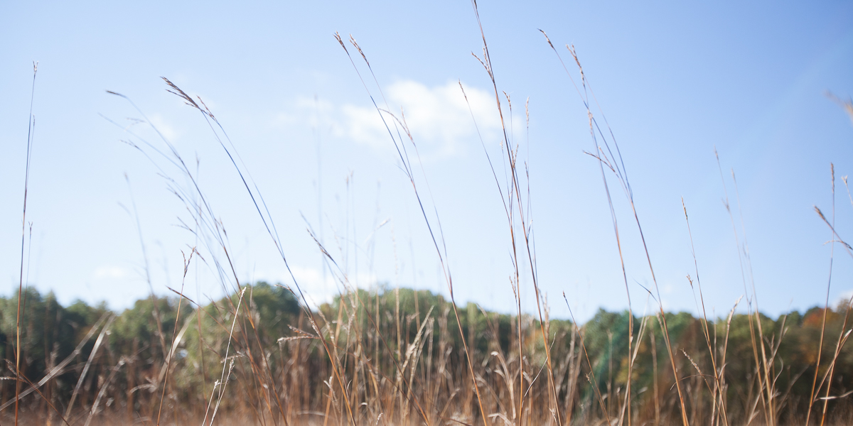 Prairie grass stands tall at the Green Oaks Biological Field Station.