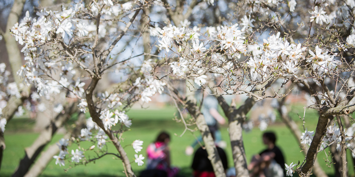 Students sit and study behind blossoming trees.