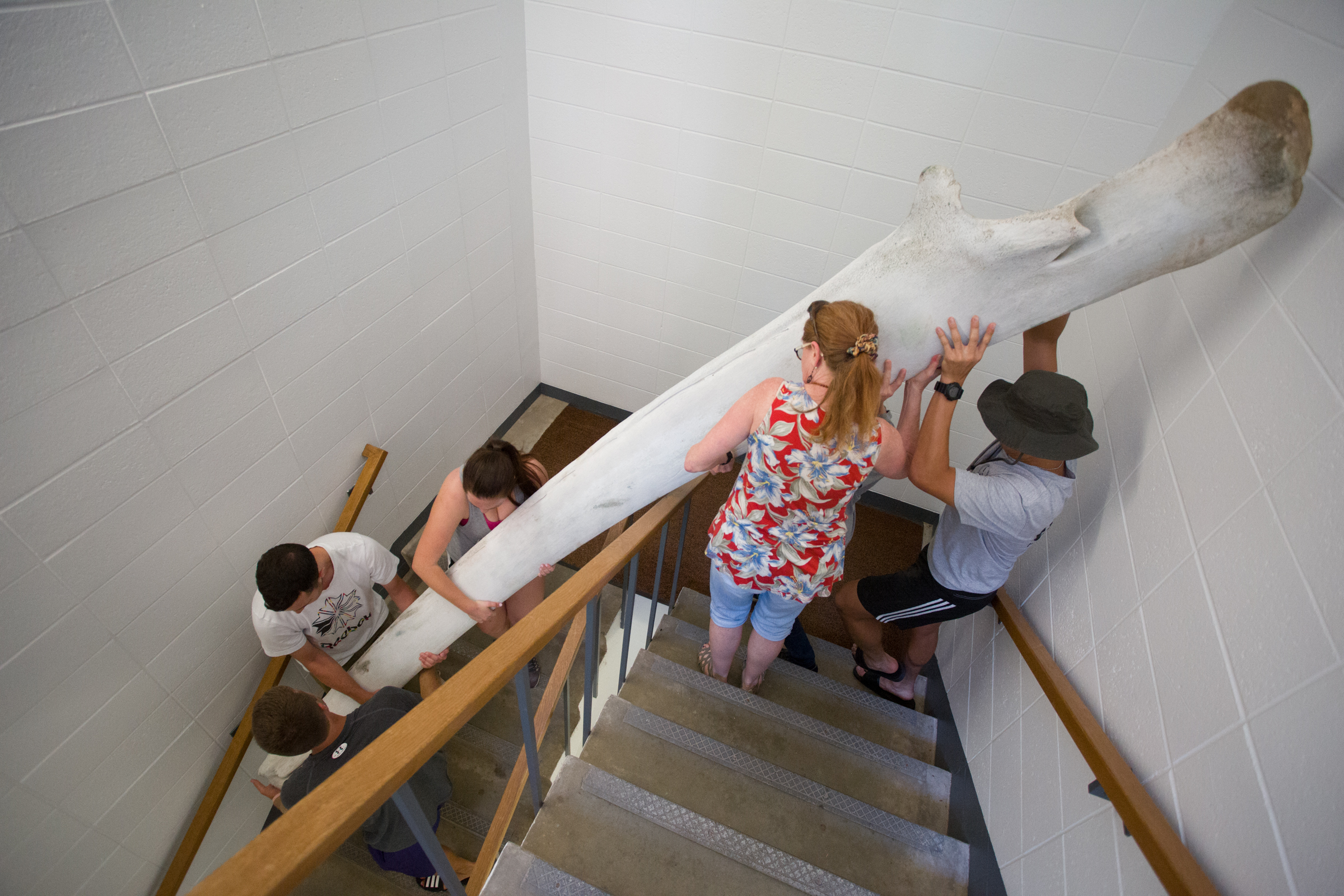 Students move jaw bone through stairwell in the Knox College Umbeck Science-Mathematics Center